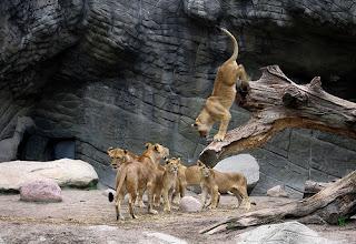 ملف كامل عن اجمل واروع الصور للحيوانات  المفترسة   حيوانات الغابة  524851964_e3a369825e