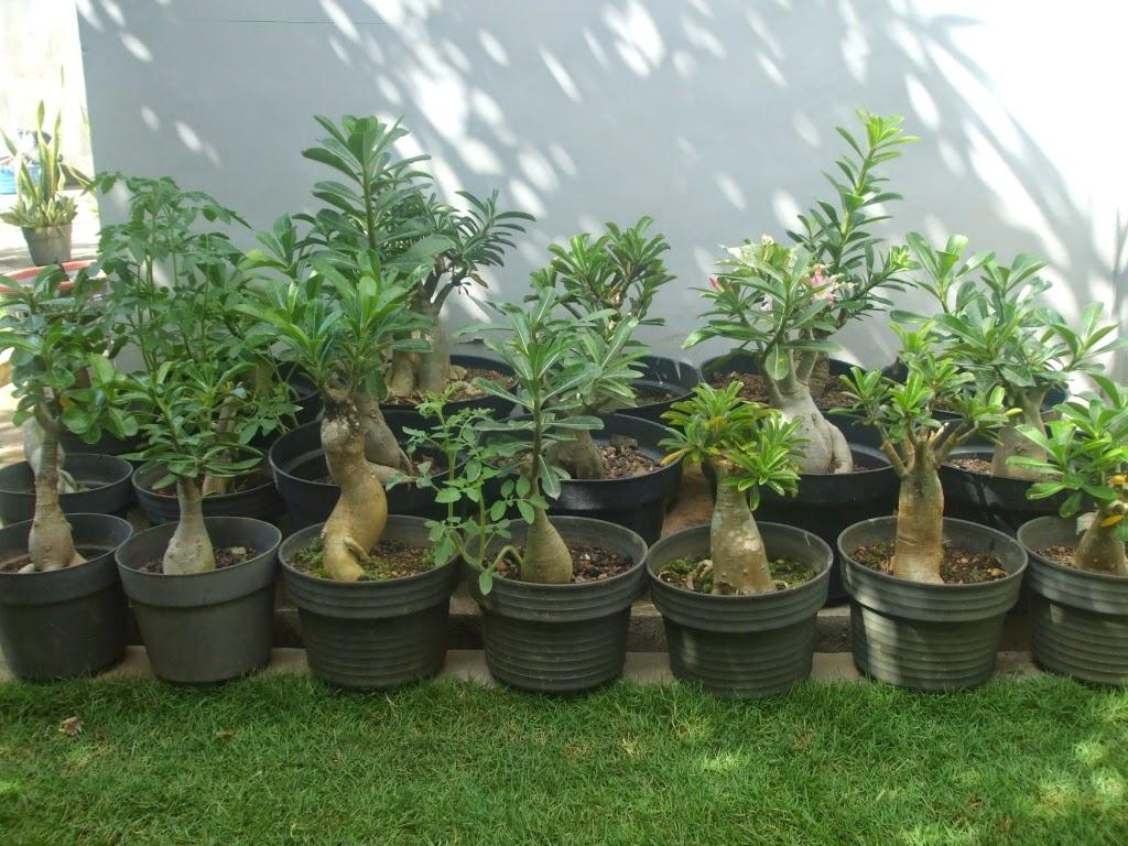 Plumeria atau sering disebut pohon kamboja merupakan pohon yang