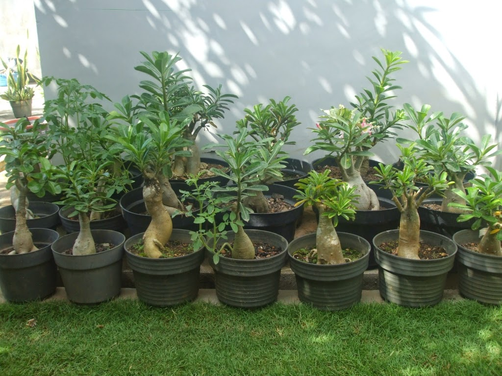tanaman hias pohon kamboja jepang