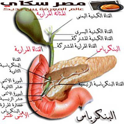 البنكرياس وأمراضه ووظائفه  Pancre