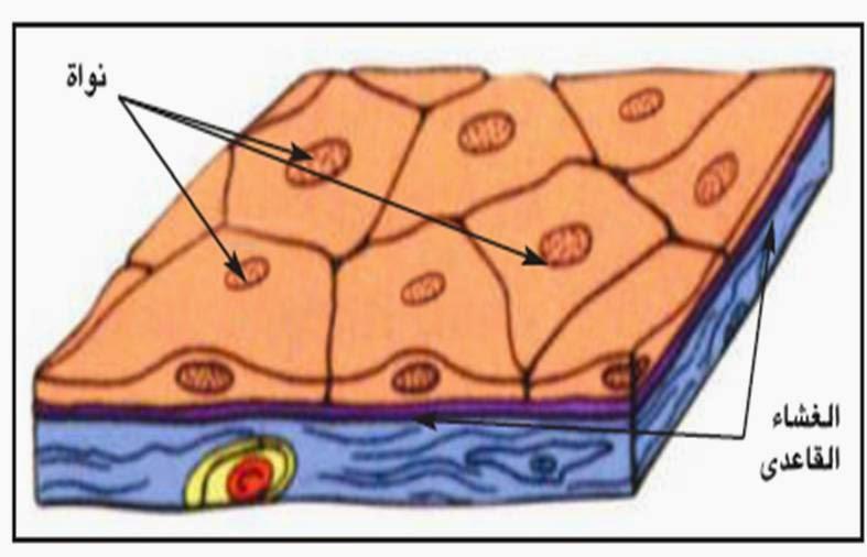 علم الأنسجة