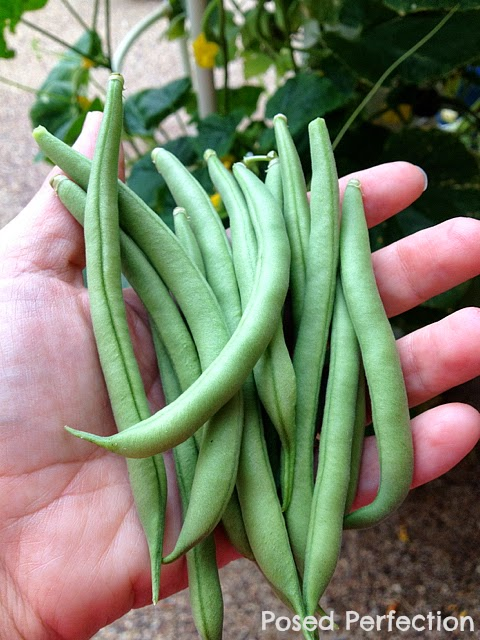 Green Bean Harvest from Tower Garden