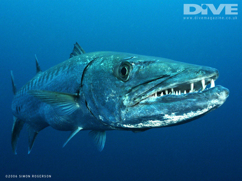animals wallpapers barracuda fish