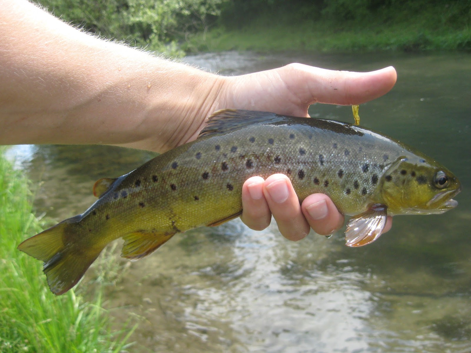 Minnesota driftless fly fishing june 2015 for Driftless fly fishing