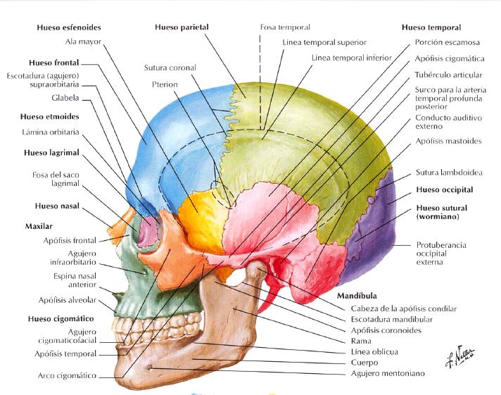 Ficha técnica I-a. Craneo / Technical data I-a. Skull.