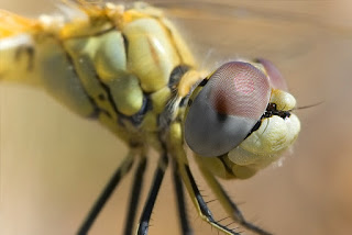 Para ampliar Sympetrum fonscolombii (Selys, 1840) hacer clic