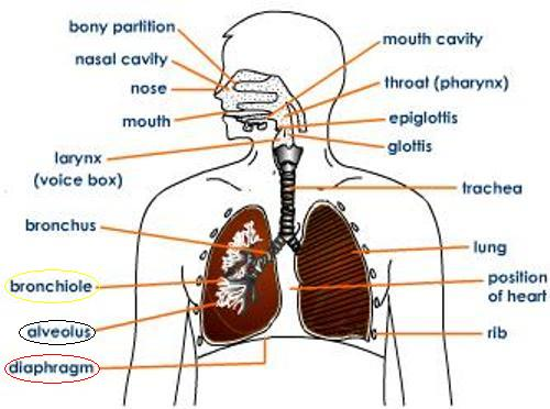 human respiratory system essay Free essay: the respiratory system is the process responsible for the transportation and exchange of gases into and out of the human body as we breath in.