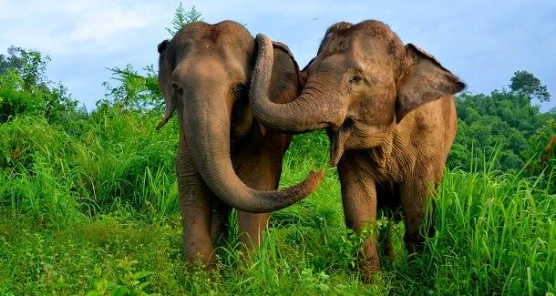 Elefantes asiáticos tranquilizam-se uns aos outros em dificuldades (com video)
