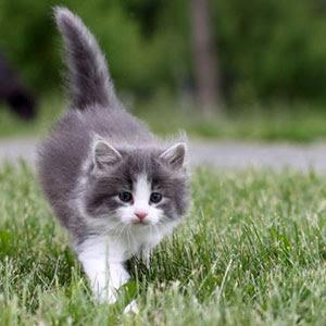 Gambar Gambar Kucing Parsi Gambar Kucing El Cute Gambar