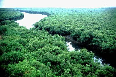 Mangrove Forest in Sundarbans Delta