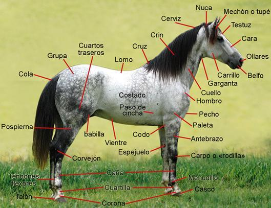 Dibujo de un caballo indicando sus partes