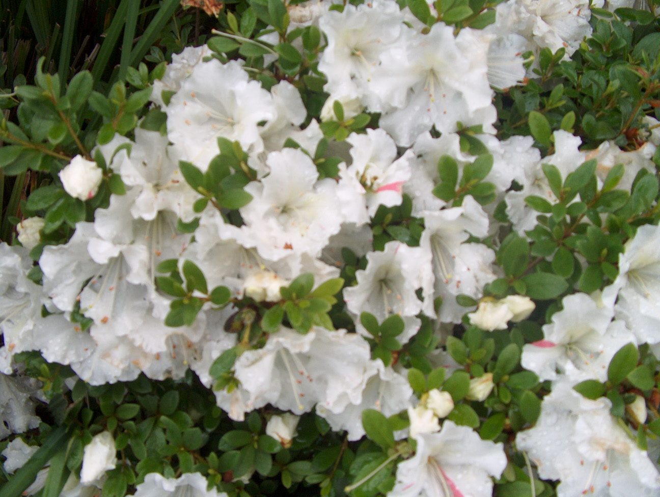 Anisti ibuno flowers gumpo azalea for The azalea