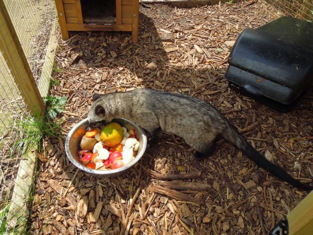 Makanan Untuk Musang Pandan Drh Fira Sovica