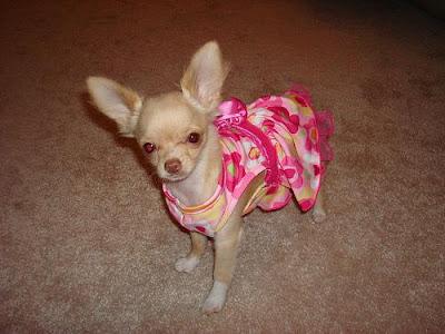Fotos de cachorros Chihuahua
