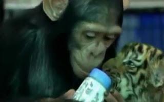 Monyet kasi anak harimau minum susu botol