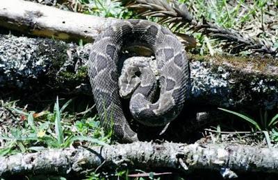 serpientes en extincion de ArgentinaYarará vientre negro Bothrops cotiara