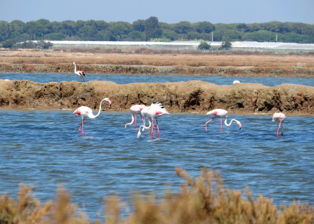 Greater Flamingos - Spain