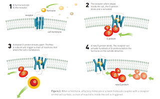 receptors and the cell