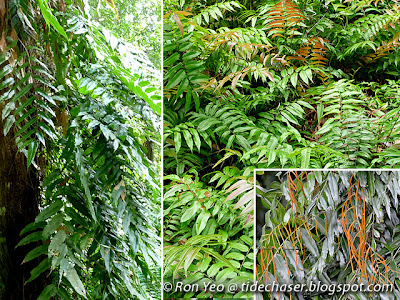 Paku midung (Stenochlaena palustris)
