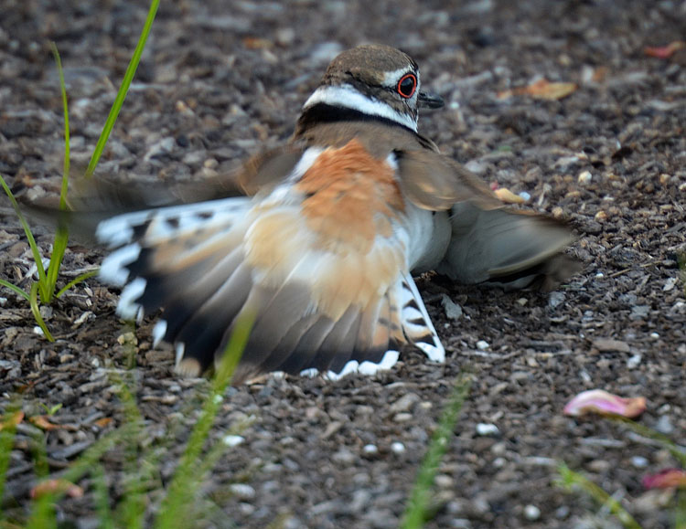 A Killdeer in a broken-wing display.