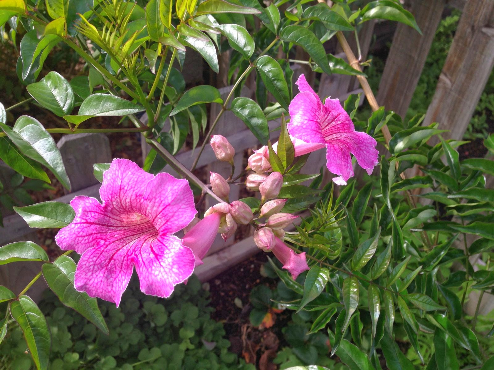 RAMBLINGS FROM A DESERT GARDEN Pruning and Blooms in the Spring Garden