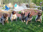 Wirehaired Pointing Griffons - NAVHDA & AKC Registered