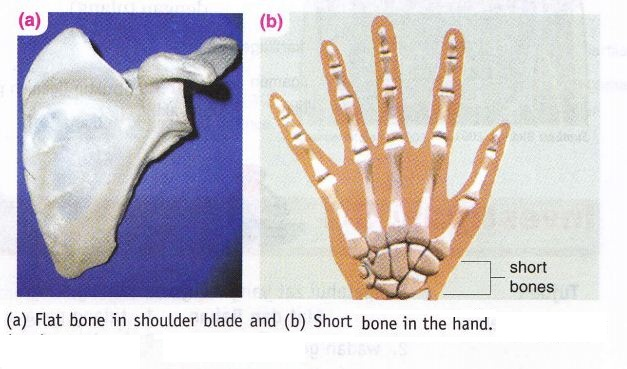 Bone Shape Human And Vertebrates New Science Biology