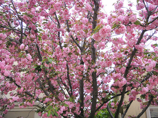 Left Field Wander: Kwanzan Cherry Blossoms