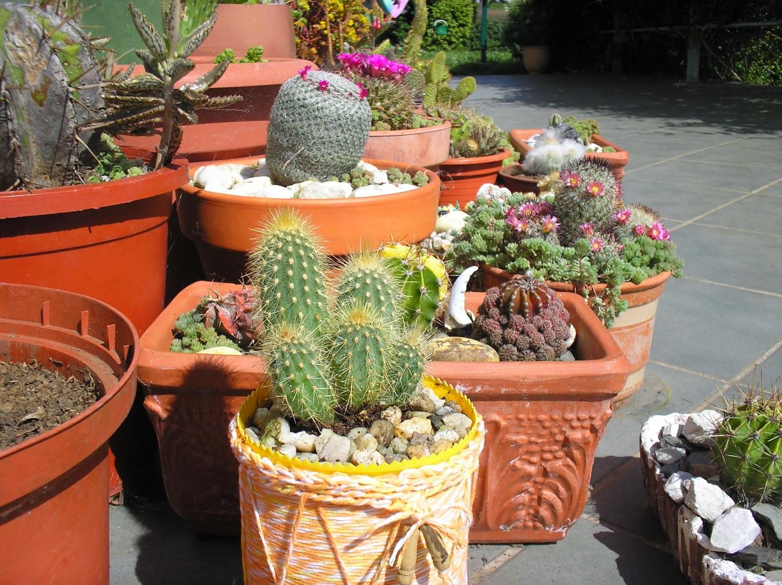 Aprendiz de bote de cacao a maceta para cactus - Cactus en macetas pequenas ...