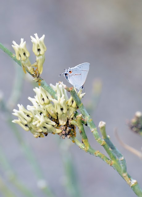 Gray Hairstreak on Asclepias subulata 017