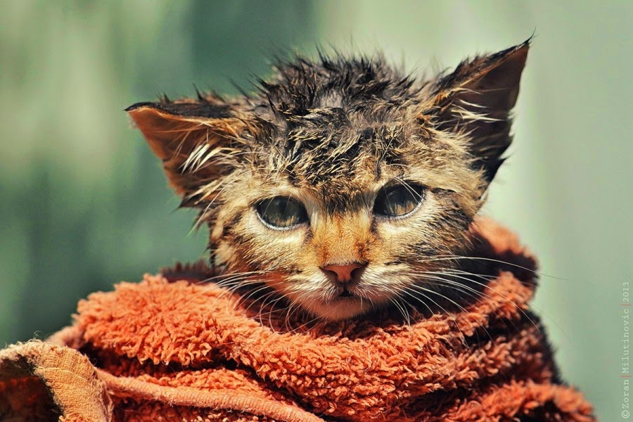 How Cats Look After Bath (18 Hilarious Photos)