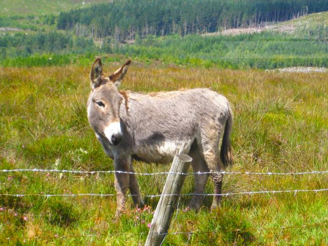 Donkey in Inagh Valley, Connemara, Ireland