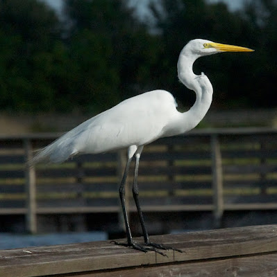 Great Egret (Areda alba)
