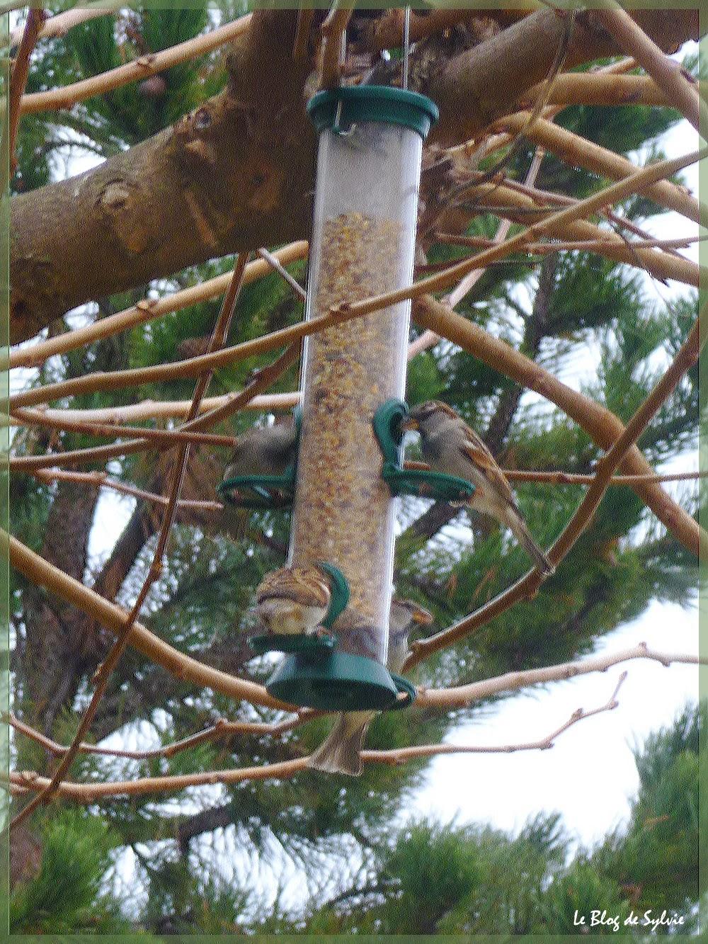 Le blog de sylvie racailles plumes for Jardin 4 moineaux