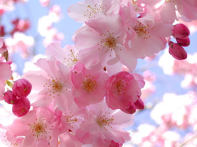 papery pink and white blooms