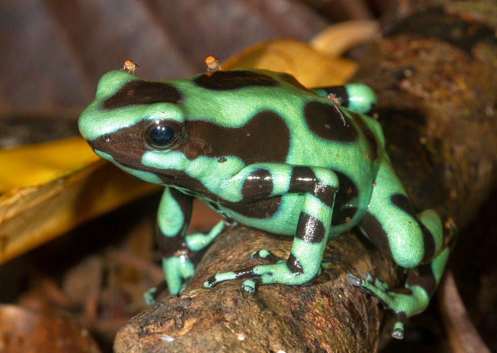 Imagenes de sapos y ranas: Fotografias sapos y ranas: color verde y ...