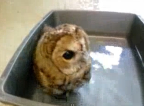 Daily Cute: Bath Time for Mr. Peabody the Owl (Video)