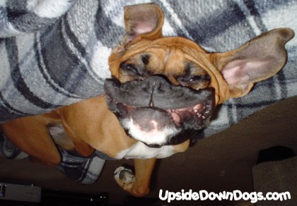 Funny boxer dog pictures |Funny Animal