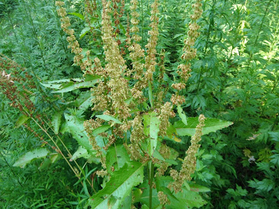 Bitter Dock (Rumex Obtusifolius) Overview, Health Benefits, Side effects