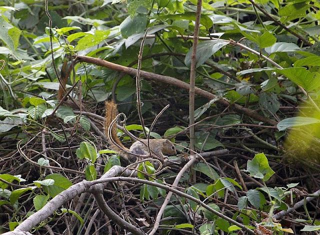 Gambian Sun Squirrel in the Abuko Nature Reserve