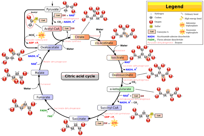 Coa vs Acetyl Coa Acetyl Group of Acetyl-coa