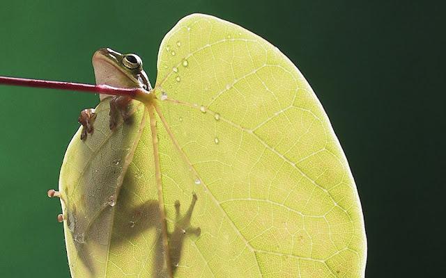Best Jungle Life frog, leaf wallpaper