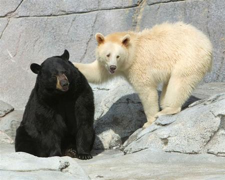 All Albino Animals: Albino Black Bear | White Black Bear.