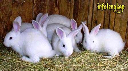 cara beternak kelinci, cara merawat kelinci hamil, cara memandikan kelinci, obat kelinci sakit, ukuran kandang kelinci, kelinci anggora, cara merawat kelinci yang masih kecil, beternak kelinci, cara beternak kelinci, cara memelihara kelinci, cara merawat kelinci, gambar kelinci, kelinci, makanan kelinci, membuat kandang kelinci
