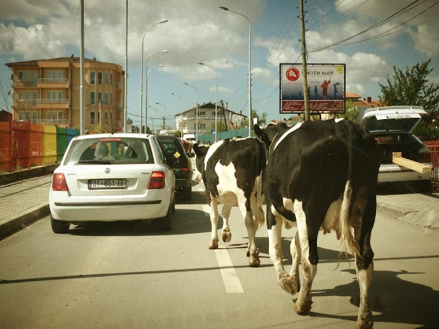 Lopet ne rruget e kryeqytetit te Prishtines