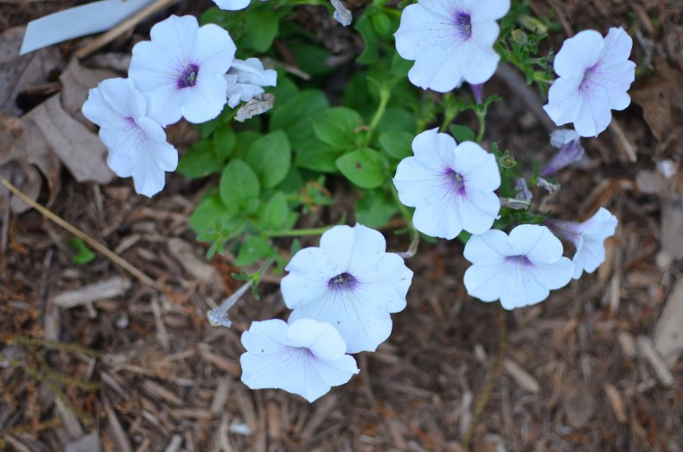 NEW Easy Wave Silver Spreading Petunia Cool Wave