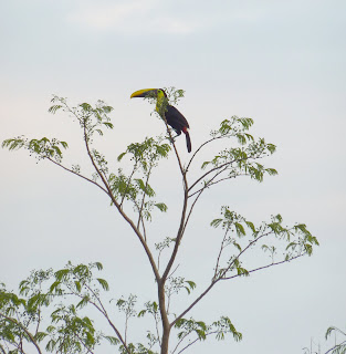 The Sunset Song of the Toucan