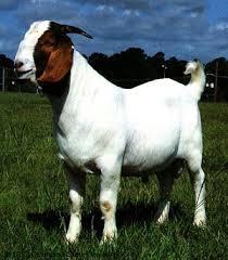 cara beternak kambing, ternak kambing, budidaya kambing