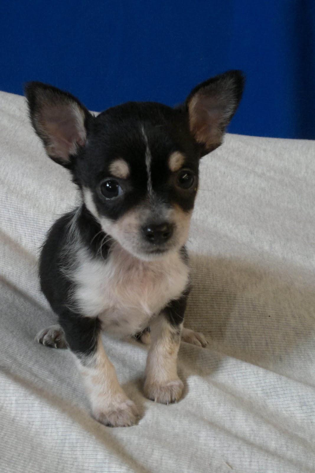 Cuccioli Di Tutte Le Razze Cucciolo Chihuahua