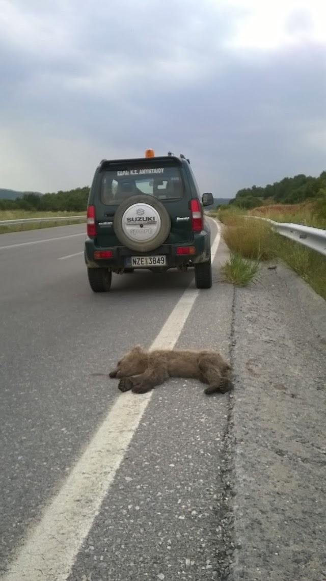 Θύμα τροχαίου αρκουδάκι στη νέα εθνική οδο Φλώρινας - Αμυνταίου
